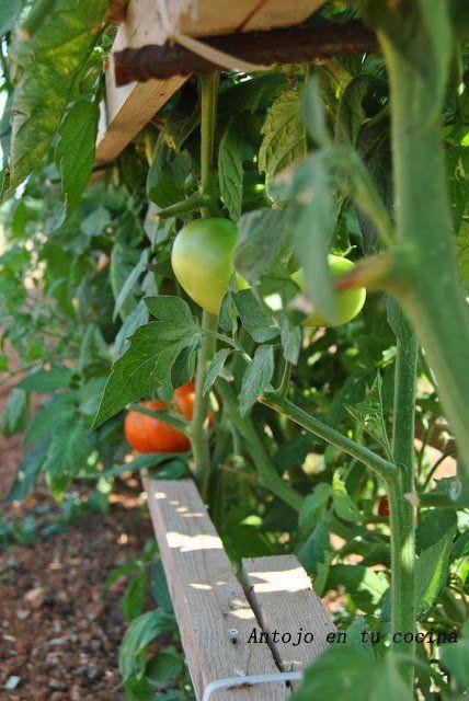 Tomate tomatera huerto
